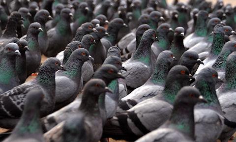 http://www.popnsport.com/wp-content/uploads/2012/09/pigeon.jpg